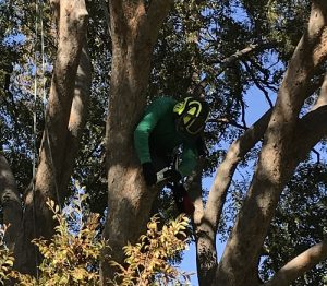 Tree Pruning Services Fort Worth