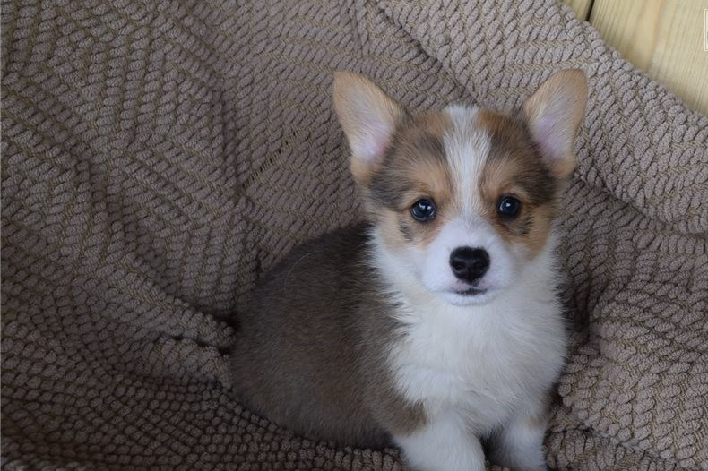Happy, healthy and beautiful Corgi puppy