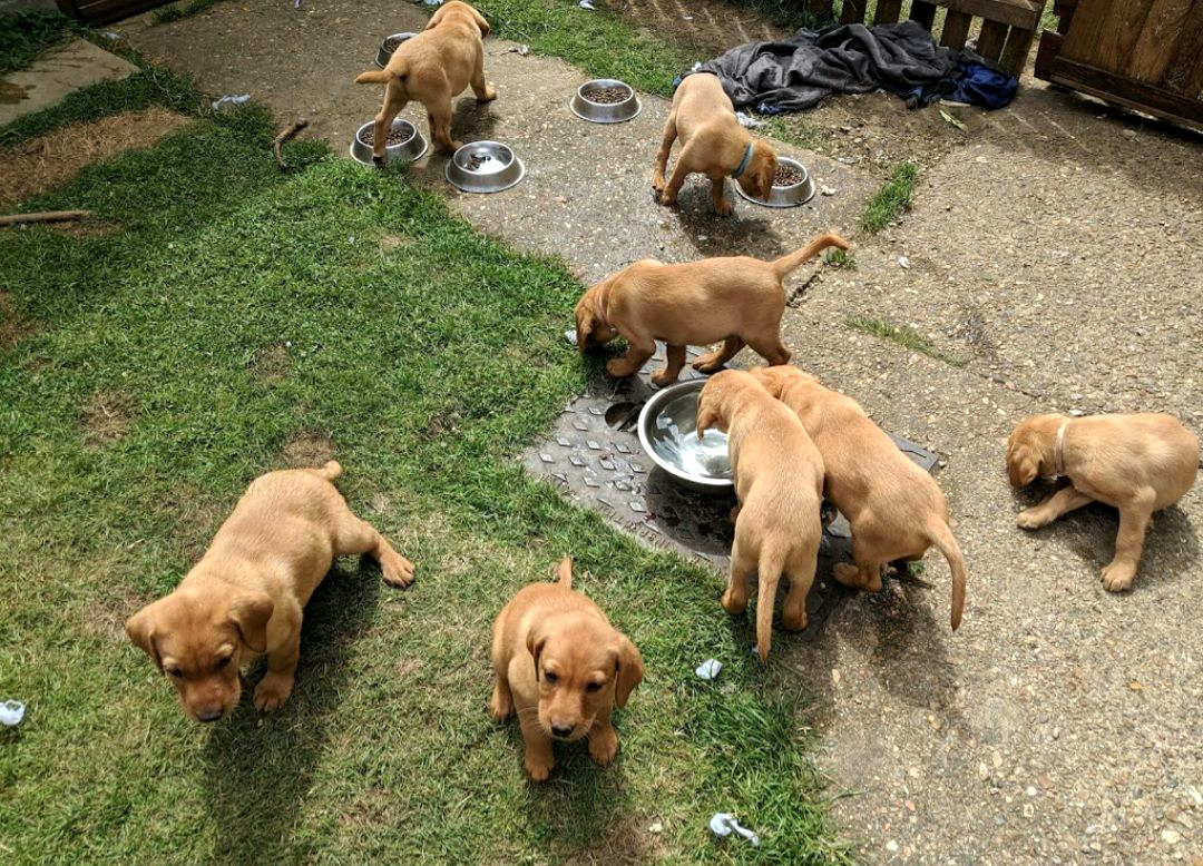 summer labrador puppies