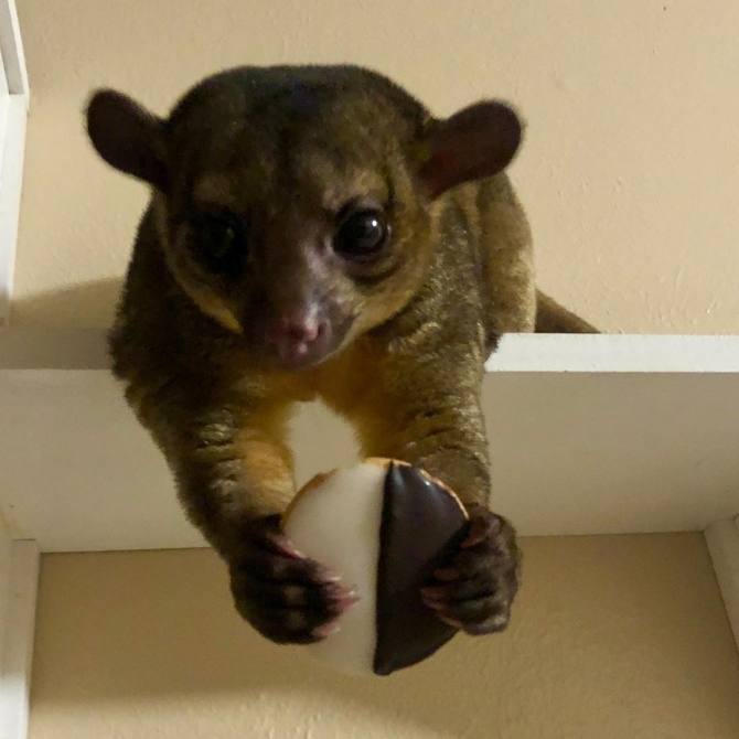Adorable Kinkajou Ready For A New Home